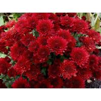Хризантема  Branhill Red (мультифлора)