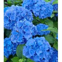 Гортензия Blue Wonder (крупнолистная)